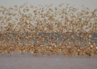En automne, des millions de limicoles et autres oiseaux migrateu
